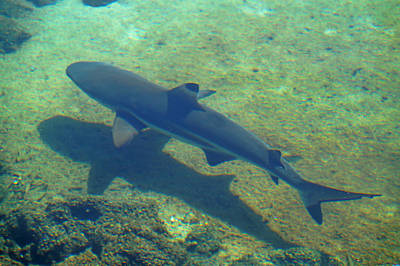Photograph - Reef Shark by Pamela Walton