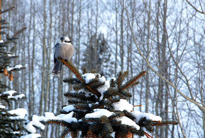 Refined Little Gray Jay In Colorado Art Print