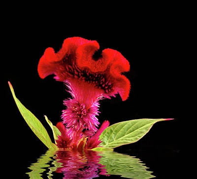 Bright Appearance Photograph - Reflected Celosia by Jean Noren