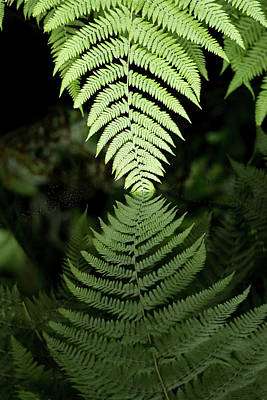 Photograph - Reflected Ferns by Edward Congdon