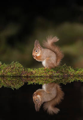 Photograph - Reflected Red Squirrel by Peter Walkden