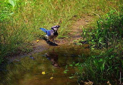 Photograph - Reflecting Blue Jay by Wesley Nesbitt
