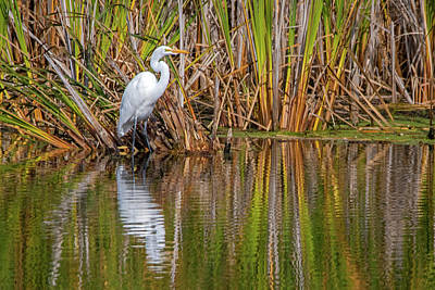 Ira Marcus Royalty-Free and Rights-Managed Images - Reflecting Great Egret by Ira Marcus