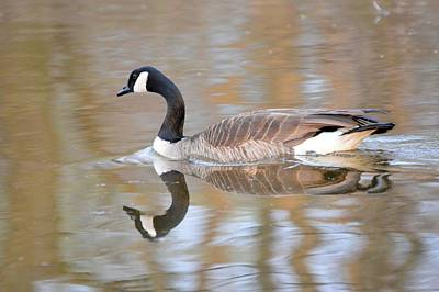 Photograph - Reflecting Gander 2 by Bonfire Photography