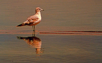 Photograph - Reflecting Gull by Bob Whitt