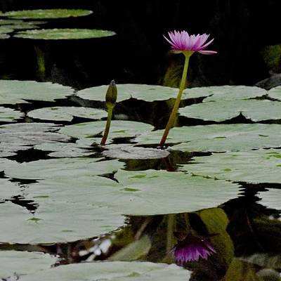 Photograph - Reflecting On A Sacred Lotus by Lynda Anne Williams