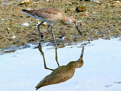 Rare Bird Sighting Photograph - Reflecting On A Willet by Kala King