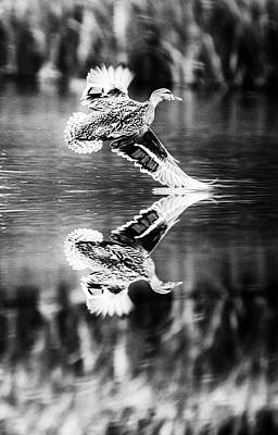 Photograph - Reflection Flight  by Cliff Norton