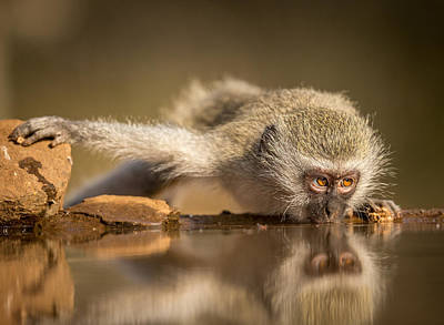 Monkey Photograph - Reflection by Jaco Marx