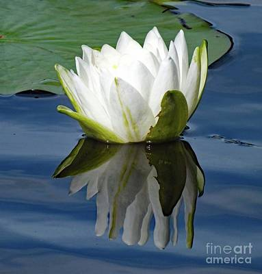 The Who - Reflection - Lotus by Cindy Treger