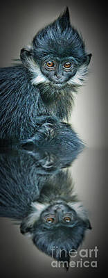Photograph - Reflection Of A Francois Langur Monkey  by Jim Fitzpatrick