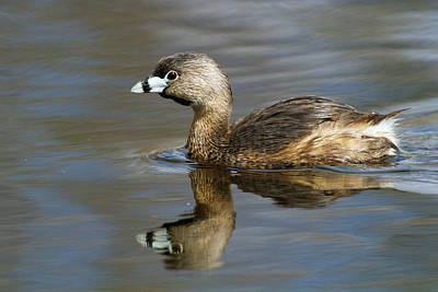 Photograph - Reflection Of A Grebe  by Timothy McIntyre