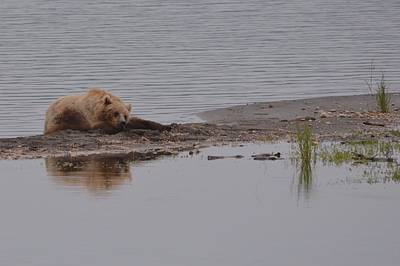 Photograph - Reflection Of A Resting Bear  by Patricia Twardzik