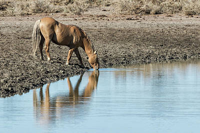 Photograph - Reflection Of A Stallion by Belinda Greb