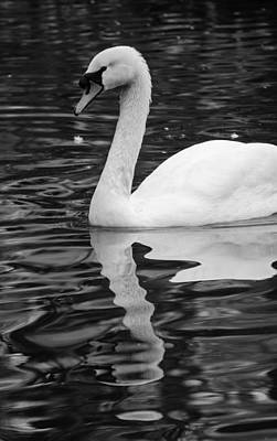Tranquil Scene Photograph - Reflection Of A White Swan by Andrea Mazzocchetti