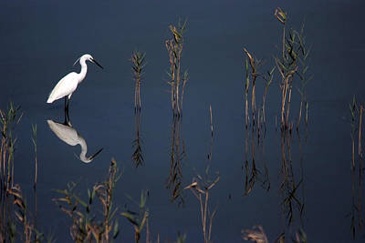 Reflection Of Little Egret In Lake Art Print