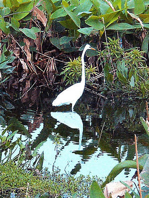 Photograph - Reflections - A Great White Heron by Merton Allen
