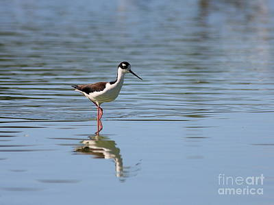 Photograph - Reflections Of A Black Necked Stilt 2 by Wingsdomain Art and Photography
