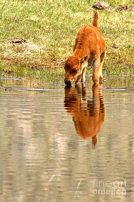 Photograph - Reflections Of A Lone Red Dog by Adam Jewell