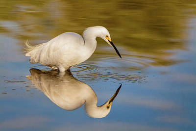 Photograph - Reflections Of A Snowy Egret  by Saija Lehtonen
