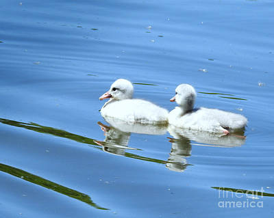 Photograph - Reflections Of Fluffy Cygnets by Kathy M Krause