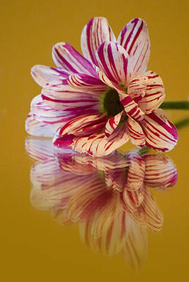 Photograph - Reflections Of Summer - Striped Gerbera Flower by Pixie Copley