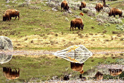 Photograph - Reflections Of The Bison Herd by Adam Jewell