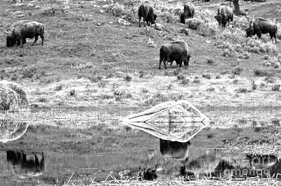 Photograph - Reflections Of The Bison Herd Black And White by Adam Jewell