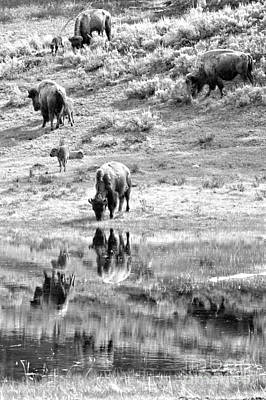 Photograph - Reflections Of The Lamar Valley Herd Black And White by Adam Jewell
