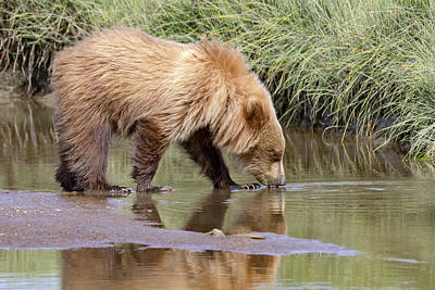 Photograph - Reflections On A Bear by Jack Bell