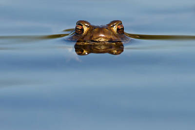 Amphibians Wall Art - Photograph - Reflections - Toad In A Lake by Roeselien Raimond