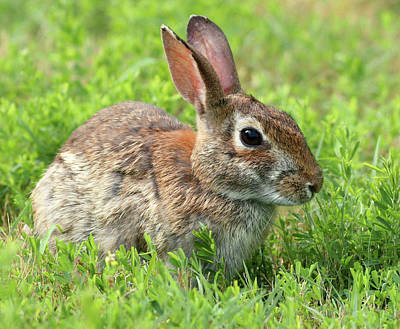 Photograph - Refuge Rabbit by Art Cole