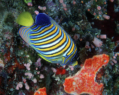 Photograph - Regal Angelfish, Great Barrier Reef by Pauline Jacobson