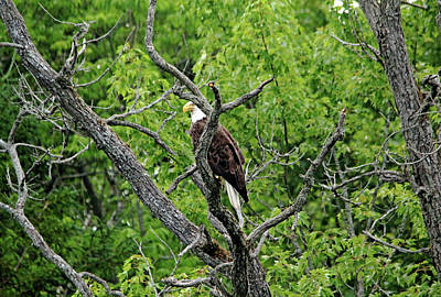 Photograph - Regal Bald Eagle by Debbie Oppermann