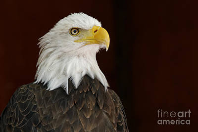 Photograph - Regal Bald Eagle by Sue Harper