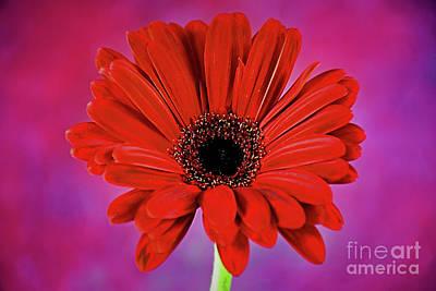 Photograph - Regal Beauty Of Daisy 12018-7 by Ray Shrewsberry