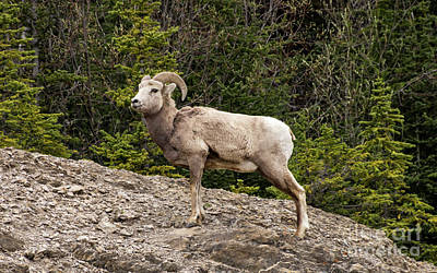 Photograph - Regal Big Horn Sheep by Louise Magno