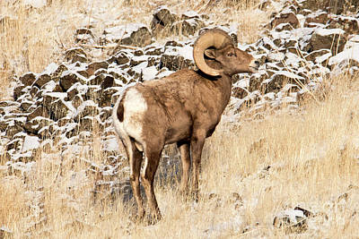 Photograph - Regal Bighorn by Mike Dawson