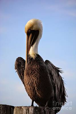 Photograph - Regal Brown Pelican by Carol Groenen