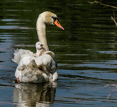 Photograph - Regal Cygnet by Will Bailey