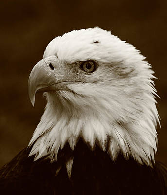 Photograph - Regal  Eagle by Bruce J Robinson
