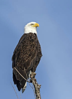 Photograph - Regal Eagle by Loree Johnson