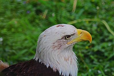 Photograph - Regal Eagle by Michiale Schneider