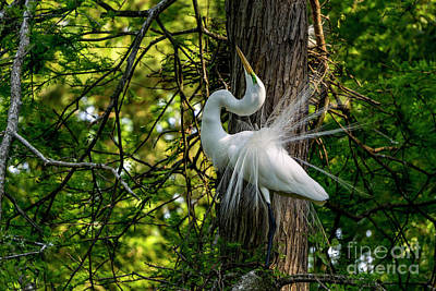 Photograph - Regal Egret by Myrtle Beach Days Collection
