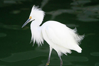 Photograph - Regal Egret by Shoal Hollingsworth