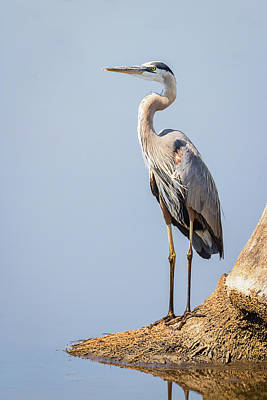 Photograph - Regal Great Blue Heron by Dawn Currie