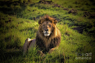 Photograph - Regal Lion by Karen Lewis