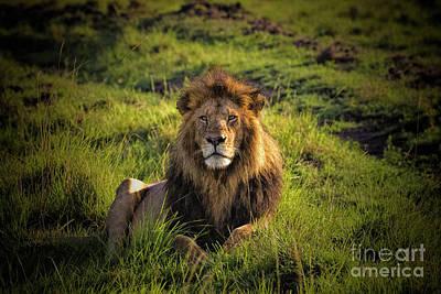 Photograph - Regal Lion by Karen Lewis