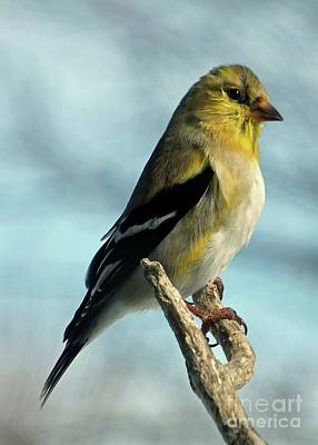 Staff Picks Judy Bernier Rights Managed Images - Im Proud To Be An American Goldfinch Royalty-Free Image by Cindy Treger