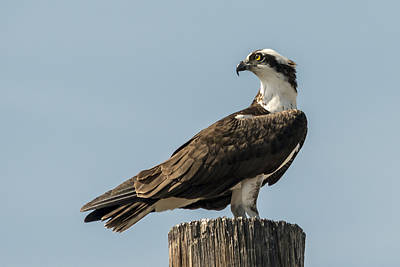 Photograph - Regal Osprey by Loree Johnson